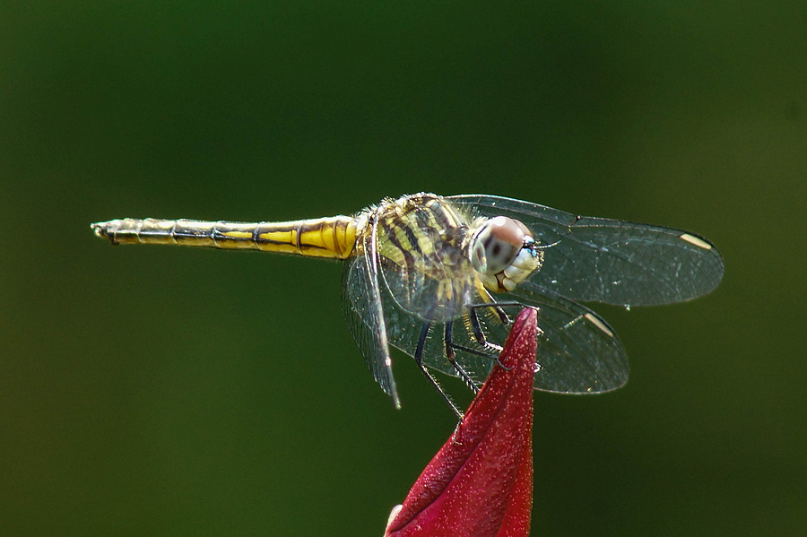 smiling dragonfly | SONY 75-300MM F/4.5-5.6 <br> Click image for more details, Click <b>X</b> on top right of image to close
