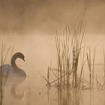 Swan in the morning | SONY 70-400MM F/4-5.6 G SSM <br> Click image for more details, Click <b>X</b> on top right of image to close