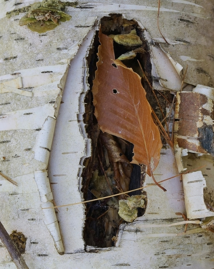 Birch Bark and Leaf | LENS MODEL NOT SET <br> Click image for more details, Click <b>X</b> on top right of image to close